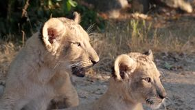 Lion cubs playing in the sun stock video footage