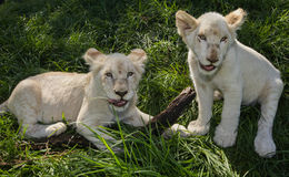 Two lion cubs Stock Photography