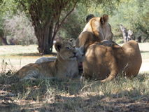Lion cubs. Two lion cubs resting on the shade Stock Images