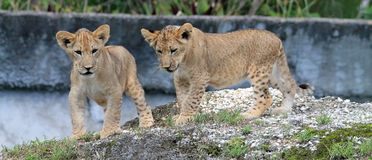 Two lion cubs on rock Stock Photos