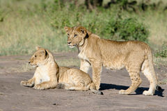 Two lion cubs Royalty Free Stock Photography