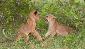 Two lion cubs (Panthera leo) playing Royalty Free Stock Images