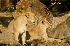 Two lion females. At zoo Royalty Free Stock Image