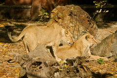Two lion females. At zoo Royalty Free Stock Images
