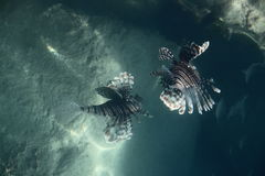 Two Lion fish. Near coral reef on red Sea Egypt royalty free stock photo