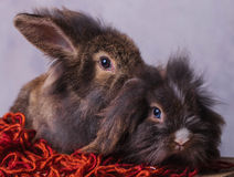 Two  lion head rabbit bunnys sitting on a red scarf Royalty Free Stock Photos