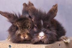 Two lion head rabbit bunnys sitting on a wood box Stock Photo