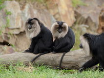 Two lion-tailed macaque (Macaca silenus) stock image