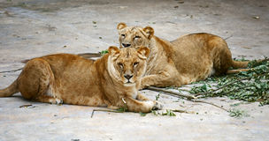 Two lioness Stock Photo