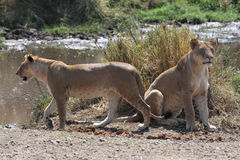 Two lioness hunting Royalty Free Stock Photography