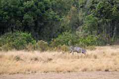 Zebra Jumping Over Lioness on Hunt. Two lioness in the Masai Mara are in Kenya, Africa hunting a zebra that is leaping over them Stock Photo