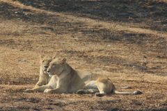 Two Lioness relaxing. Stock Images