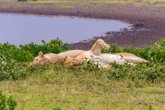 Two Lioness Stock Photography