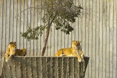 Two Lioness resting Royalty Free Stock Photos