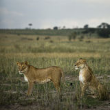 Two lioness' in savannah, Serengeti National Park Stock Image