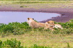 Two Lioness in the Serengeti. Two Lioness Relaxing in the Serengeti Stock Photo