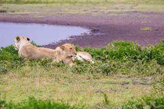 Two Lioness in the Serengeti. Two sister lioness relax near a water hole on the Serengeti plain Royalty Free Stock Photos