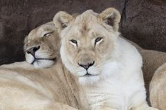 Two Lioness sisters relax at The Toronto Zoo. Two female lions relax as one sleeps and the other watches the camera at Toronto Zoo Stock Photo
