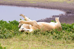 Two Lioness in Tanzania. Two Lioness Rolling in the Grasses by a waterhole in the Serengeti Royalty Free Stock Photography