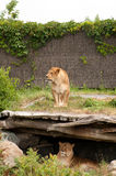 Two lioness at the zoo Stock Photography