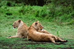Two lionesses. Stock Images