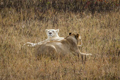 Two lionesses Royalty Free Stock Photos