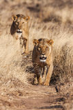Two lionesses approach, walking straight towards the camera Stock Images
