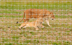 Two Lionesses in captivity Royalty Free Stock Images