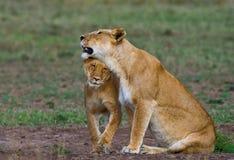 Two lionesses fondle each other. National Park. Kenya. Tanzania. Masai Mara. Serengeti. stock images