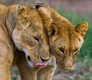 Two lionesses fondle each other. National Park. Kenya. Tanzania. Masai Mara. Serengeti. stock photo