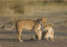Two lionesses fondle each other. National Park. Kenya. Tanzania. Masai Mara. Serengeti. An excellent illustration royalty free stock images