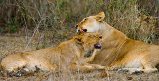 Two lionesses fondle each other. National Park. Kenya. Tanzania. Masai Mara. Serengeti. An excellent illustration royalty free stock photo