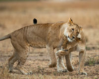 Two lionesses fondle each other. National Park. Kenya. Tanzania. Masai Mara. Serengeti. An excellent illustration stock photo