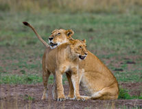 Two lionesses fondle each other. National Park. Kenya. Tanzania. Masai Mara. Serengeti. An excellent illustration royalty free stock image