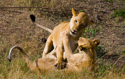 Two lionesses fondle each other. National Park. Kenya. Tanzania. Masai Mara. Serengeti. An excellent illustration royalty free stock photos
