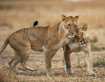Two lionesses fondle each other. National Park. Kenya. Tanzania. Masai Mara. Serengeti. An excellent illustration stock photos
