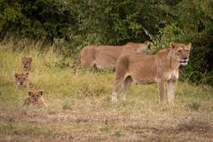Two lionesses guard three cubs in line royalty free stock photography