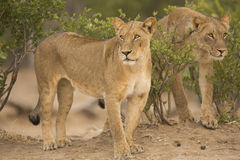 Two Lionesses (Leo Panthera). On the hunt Royalty Free Stock Image