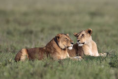 Two lionesses lie in the grass Stock Image