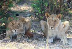 Two Lionesses looking intently ahead. Two lions resting under a bush while staring directly ahead Stock Photography
