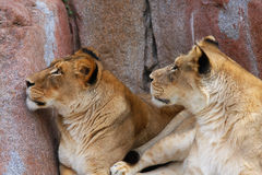 Two Lionesses looking up Royalty Free Stock Image