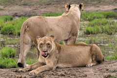 Two lionesses lying down and standing in the wild Royalty Free Stock Images