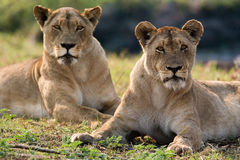 Two lionesses are lying on the hill. Okavango Delta. Royalty Free Stock Photos