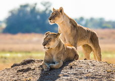 Two lionesses are lying on the hill. Okavango Delta. Royalty Free Stock Photo