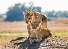 Two lionesses are lying on the hill. Okavango Delta. Stock Photos