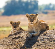 Two lionesses are lying on the hill. Okavango Delta. Royalty Free Stock Images