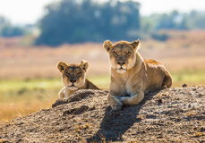 Two lionesses are lying on the hill. Okavango Delta. Stock Image