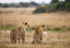 Two lionesses are lying on the hill. Okavango Delta. Stock Photography