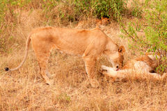 Two lionesses in Masai Mara Stock Photography
