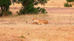 Two lionesses in Masai Mara. Two lionesses lying down and enjoying mutual grooming in Masai Mara, Kenyan stock footage